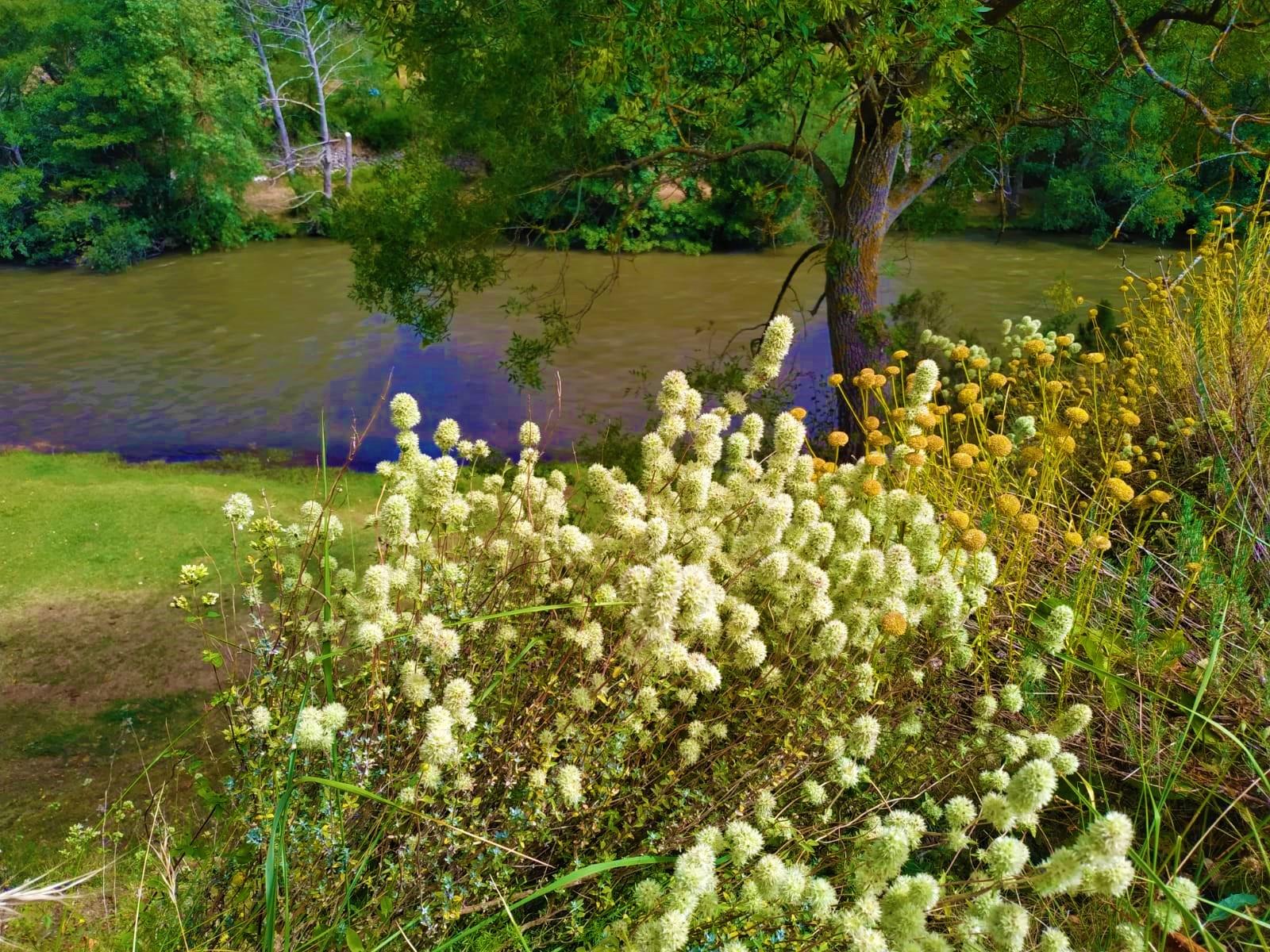 tomillo y santolina a los pies del rio ebro